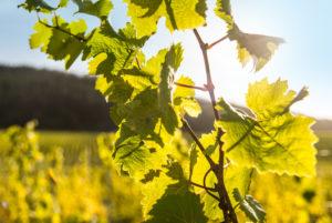 Weinranke vor sommerlichem Himmel in einem Weinberg