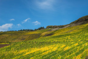 Colorful vine leaves in the vineyard against a blue sky.