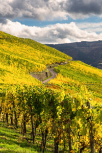 Colorful vine leaves in the vineyard against a partly cloudy autumn sky.