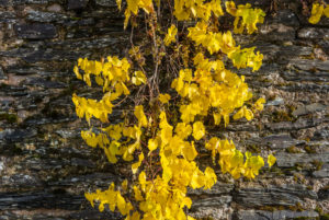 Colorful vine leaves in front of a slate wall.