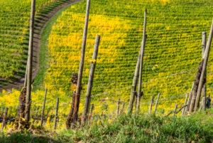 Weinpfähle vor buntem Weinlaub im Weinberg.