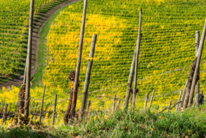 Wine stakes in front of colorful vine leaves in the vineyard.