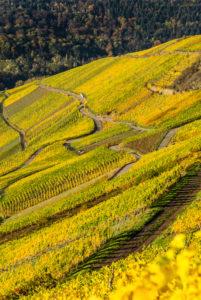 Vineyards in autumn colors near Klüsserath on the Moselle