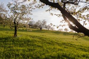 Deutschland, Baden-Württemberg, Schwäbische Alb, Albvorland, Blühende Streuobstwiese im Frühling