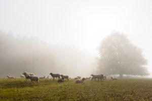 Deutschland, Baden-Württemberg, Schwäbische Alb, Metzingen, Schafherde auf der Weide im herbstlichen Morgennebel