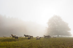 Germany, Baden-Wuerttemberg, Swabian Alb, Metzingen, flock of sheep on pasture in autumnal morning fog