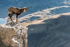 Österreich, Vorarlberg, Warth, Großer Widderstein, Gämse auf einem Felsen am Abhang