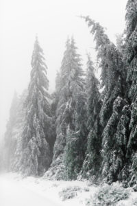 Germany, Baden-Wuerttemberg, Black Forest, Kaltenbronn, snow-covered fir forest
