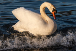 Germany, Baden-Württemberg, Karlsruhe district, Philippsburg, swan on a wave in the Rhine