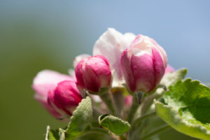 Apple blossom, close-up