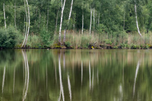 Germany, Baden-Württemberg, Upper Swabia, Pfrunger Ried, birch trees are reflected in the moor lake