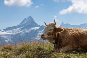 Schweiz, Kanton Bern, Berner Oberland, Grindelwald, Alp Baach, Kuh grast auf Weide, im Hintergrund Lauteraarhorn, Schreckhorn, Finsteraarhorn