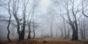 Mysterious forest in the fog, bizarre overgrown bare beech trees, autumn, Ore Mountains, Czech Republic
