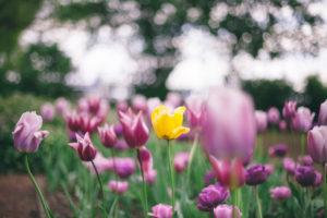 Tulips in spring in Dusseldorf,