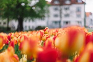 A tulip row in Bielefeld in spring,