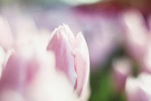 Tulip field in Bielefeld in spring,