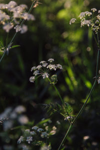 Cow parsley in spring sun,