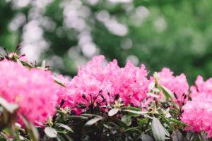 Rhododendren im botanischen Garten in Bielefeld,