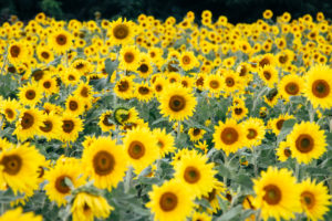A field full of blooming sunflowers,
