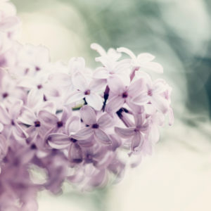 Fragrant blooming lilac in spring,