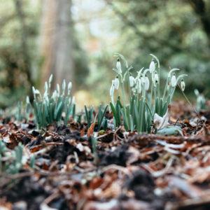Snowdrops piercing the ground