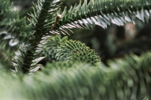 Araucaria, garden, summer, close-up