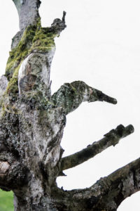Double exposure of a dead tree with a healthy beech tree