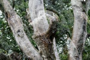 Doppelbelichtung von einem abgestorbenen Baum mit einer gesunden Buche,