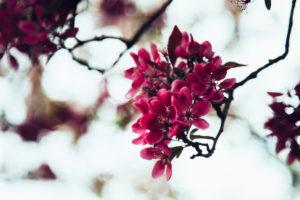 Crabapple tree in full bloom, Malus 'Royalty'