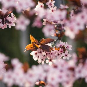 Frühlingsblüten im April,