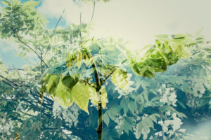 Wisteria leaves in the sunshine, spring