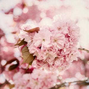 Line of flowering cherry trees in Bielefeld in April