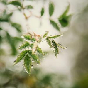 Grüne Blätter mit Tautropfen, close-up