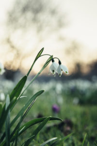Meadow with spring snowflake in spring, close-up, Leucojum vernum