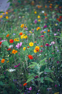 Colorful flower meadow, close-up