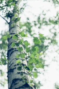 Alienation of a birch, close-up