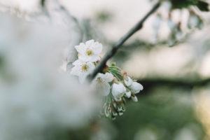 Blühender Obstbaum in Garten, Detail