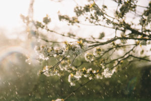 Blossoming fruit tree in garden in rain, detail