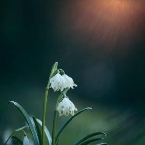 Spring node flower, Leucojum vernum, close-up