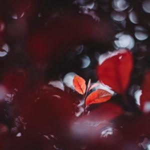 Leaves of purple-leaf plum, close-up