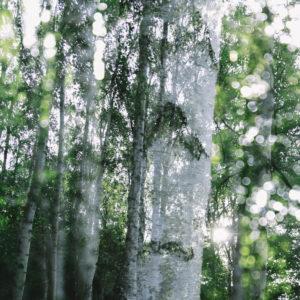 Alienation of a birch, close-up