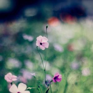 Blühende Blumenwiese mit Storchschnabelblüten, close-up, geranium