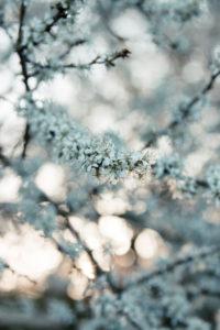 Blühender Obstbaum, close-up