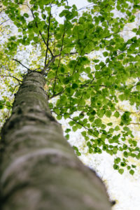 Birke im Frühling, close-up