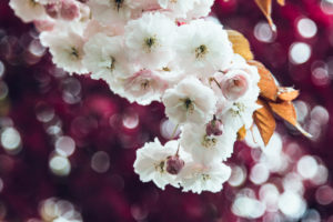 Blossoming cherry, branch, close-up