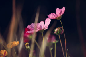 Colorful flower meadow with blooming Cosmea, close-up