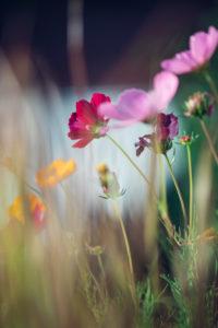 Bunte Blumenwiese mit blühender Cosmea, close-up