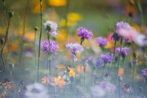 Blumenwiese mit Kornblumen, close-up
