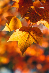 Maple leaves, Autumn leaves, close-up