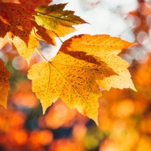 Ahornblätter, Herbstlaub, close-up